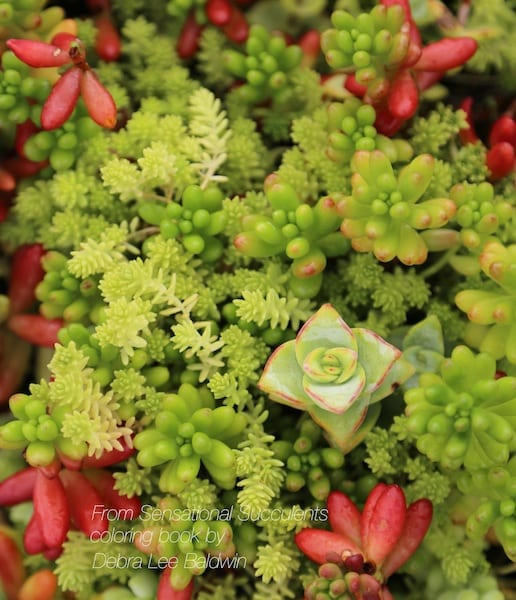 81-Crassula and sedums