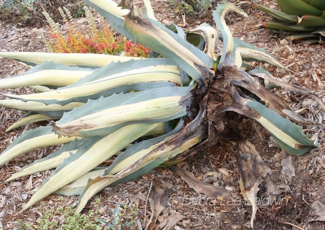 Agave snout weevil infestation of Agave americana 'Mediopicta Alba'