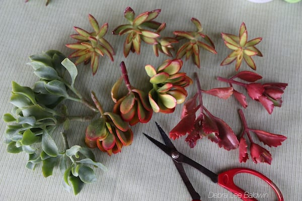 Colorful succulent cuttings for mug bouquet