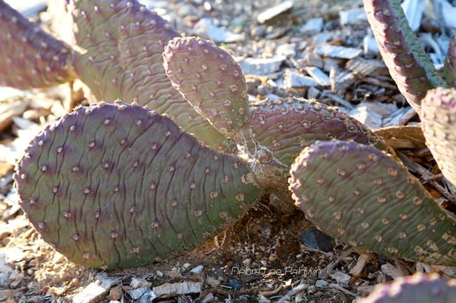Cactus paddles shrivel, indicating desiccation due to insufficient water.