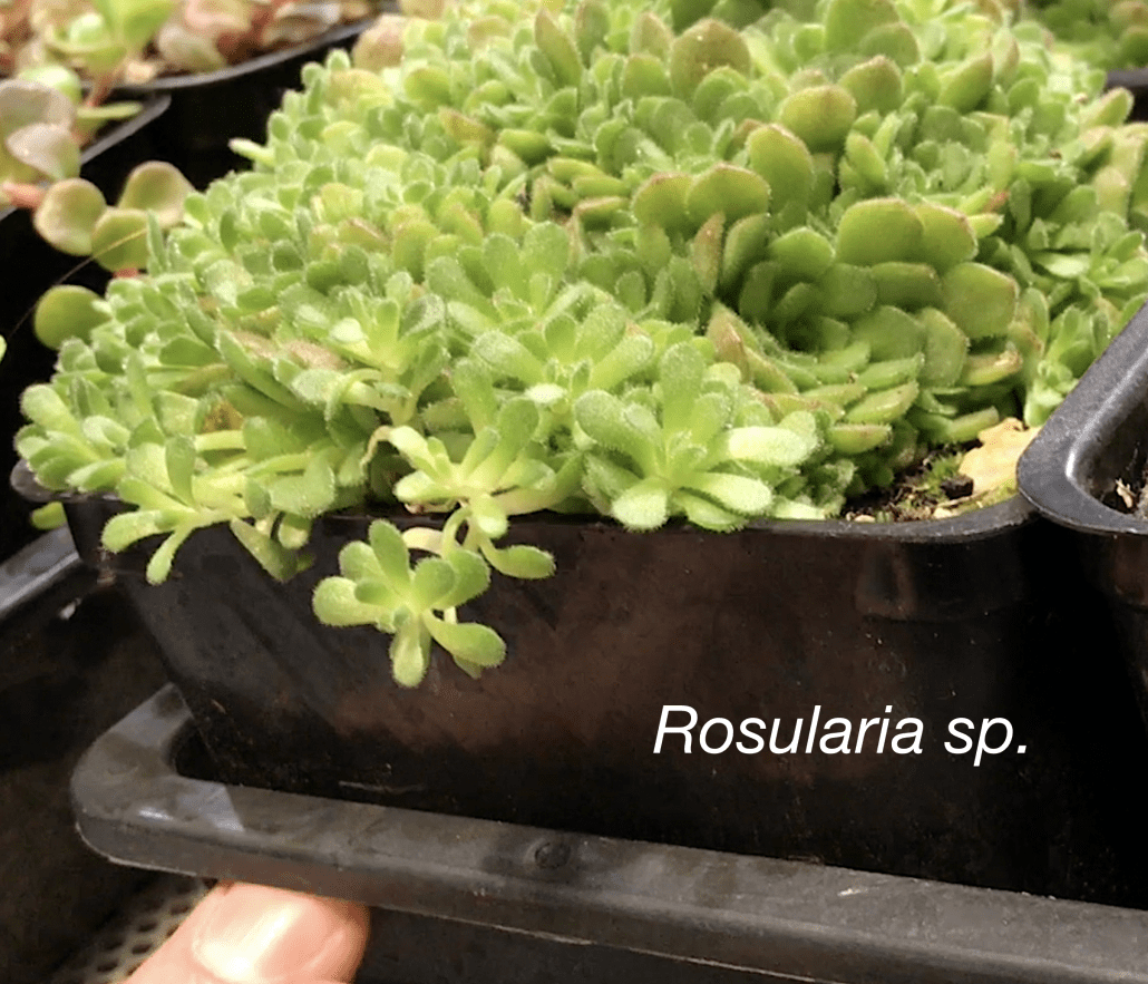 Cold-Hardy Succulents for Northern Climates