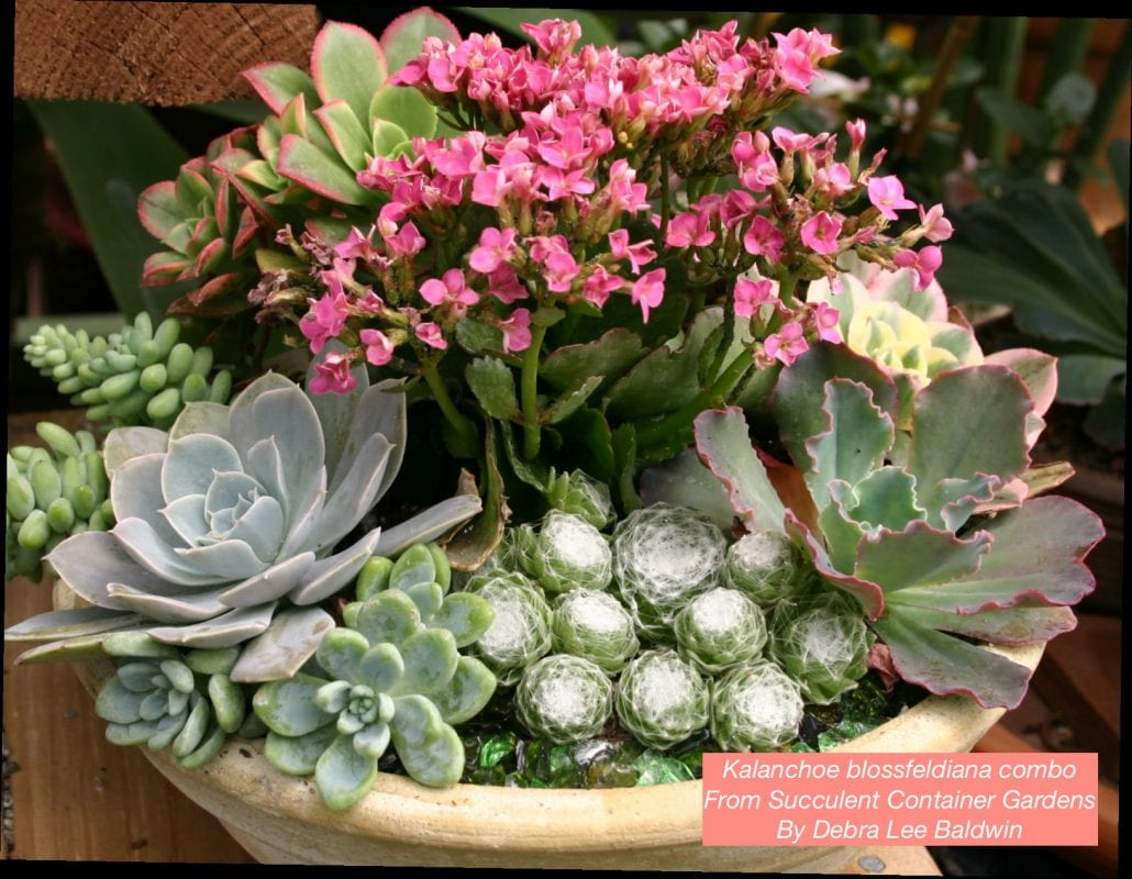 Succulent plants archives succulents and succulent garden design use with rosette succulents to create floral style compositions supermarket kalanchoes with cream or pastel blooms look especially good with rose pink mightylinksfo