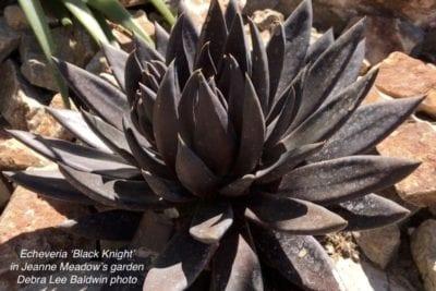 Echeveria 'Black Knight'