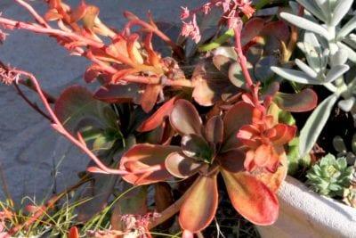Echeveria variety (c) Debra Lee Baldwin