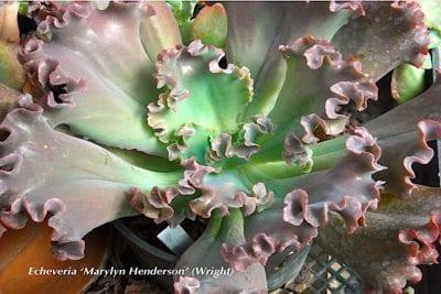 Echeveria 'Marylyn Henderson'