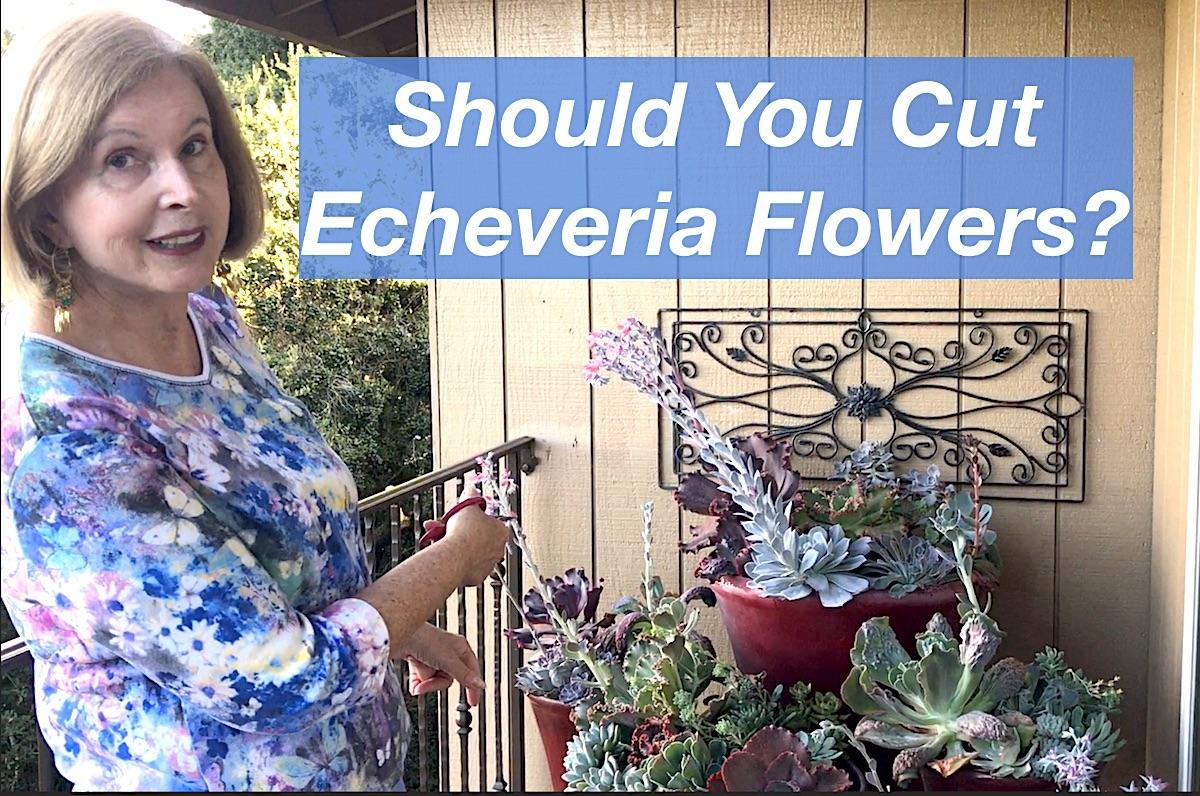 Echeveria flowers video