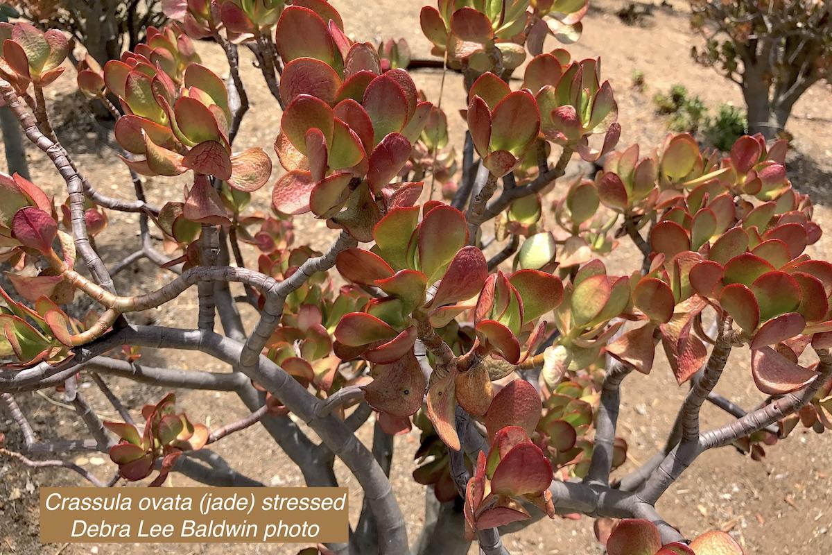 Stressed jade plant